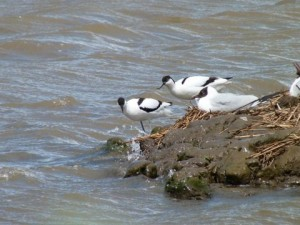 Avocets and a Blackheaded Gull