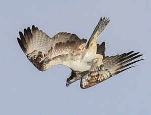 Osprey over Ogston, 12th August