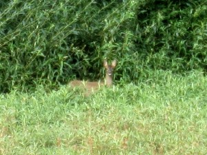 Roe Deer at Carr Pond